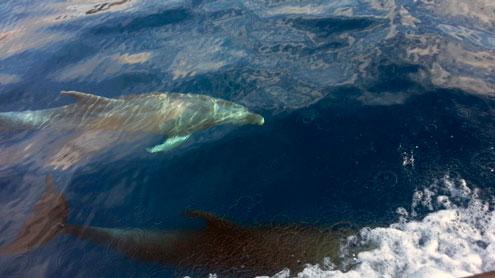 Vista de delfines en Tenerife